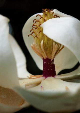 Magnolia Shy