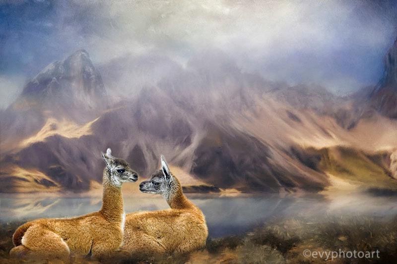 Llama Foel