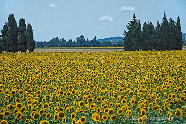 Driving Past the Sunflower Fields