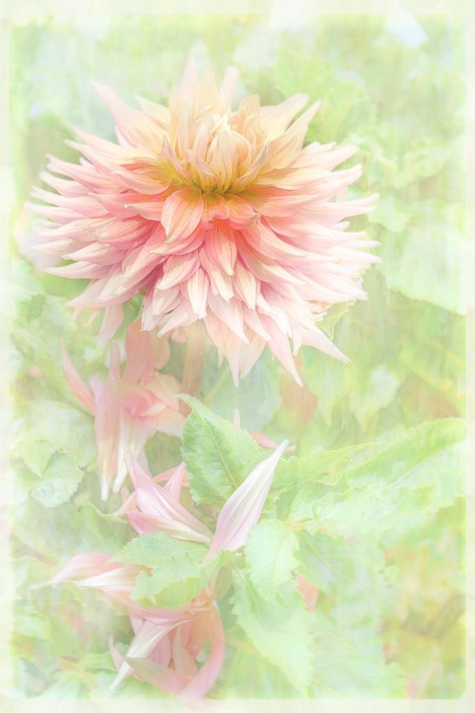 Dahlia  - ID: 15219952 © Anne Hickey