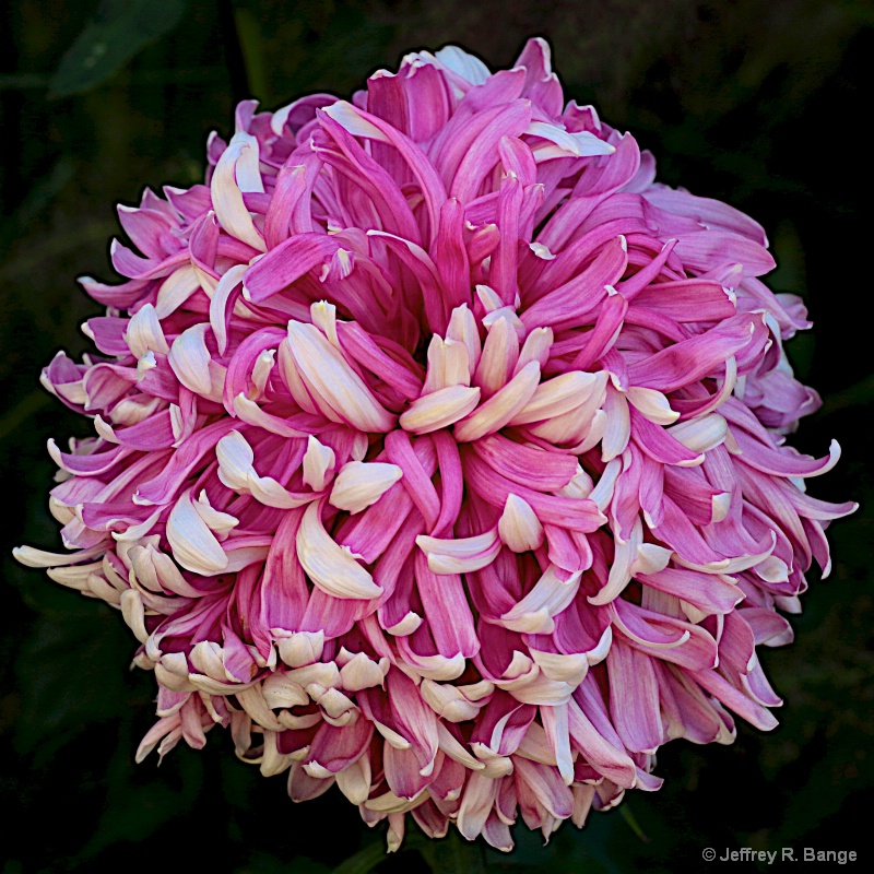 """""""Chrysanthemum #2"""""""