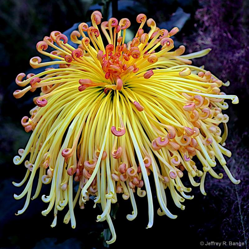 """""""Chrysanthemum #4"""""""