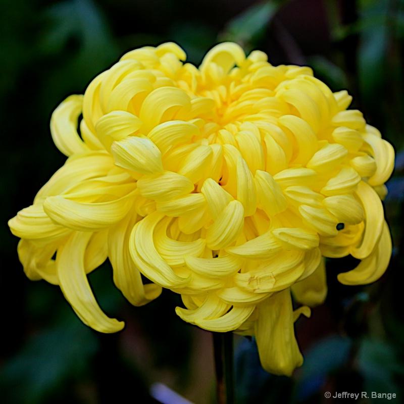 """""""Chrysanthemum #6"""""""