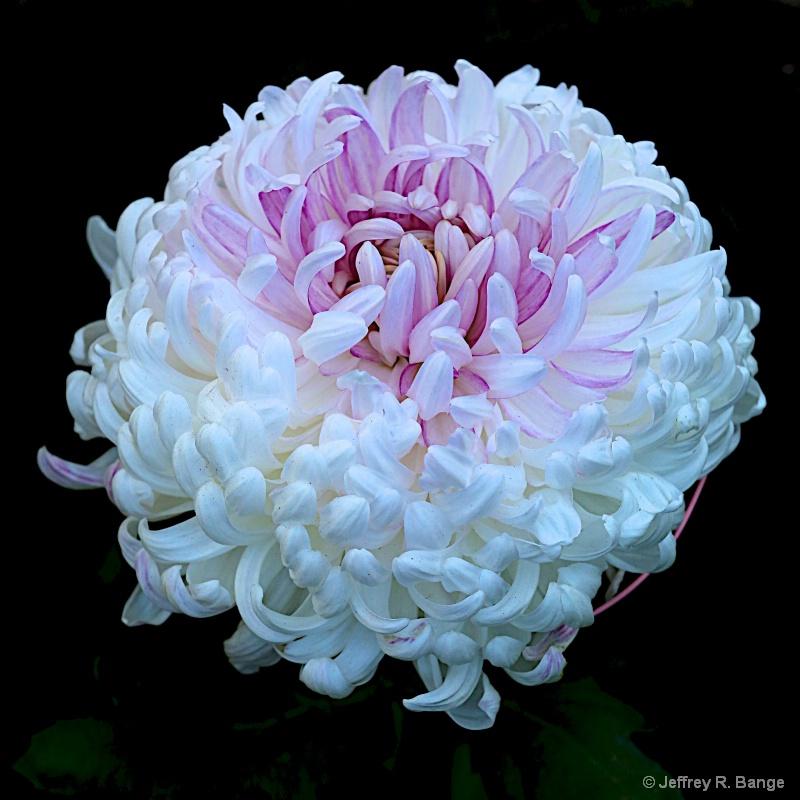 """""""Chrysanthemum #7"""""""