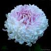 """Chrysanthemu..."