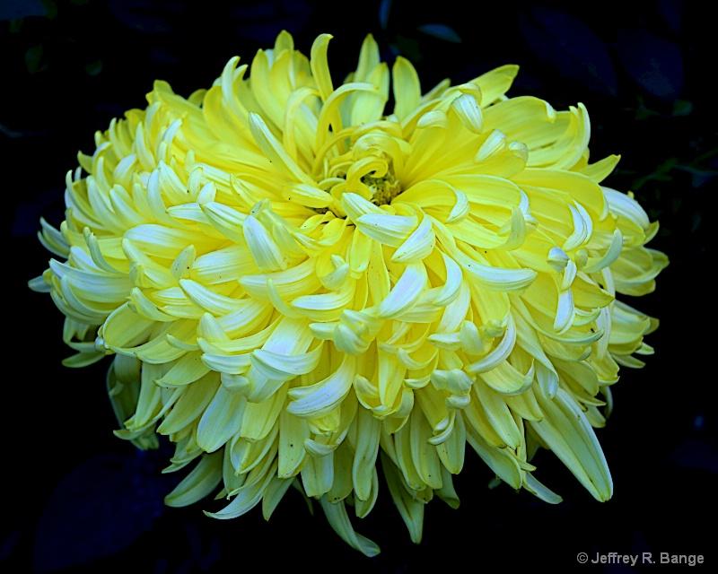 """""""Chrysanthemum #8"""""""