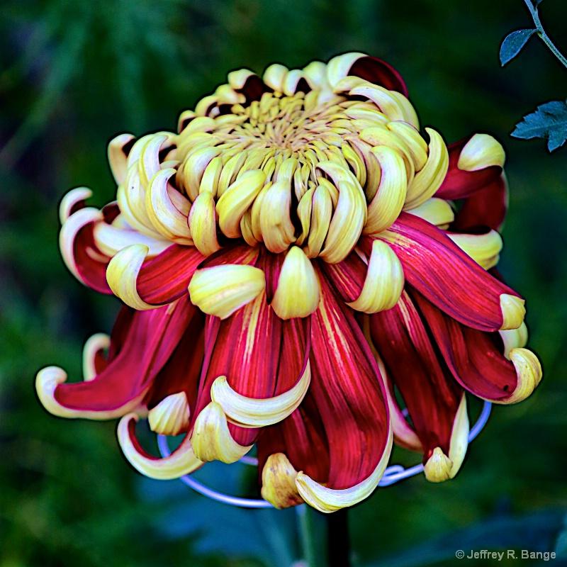 """""""Chrysanthemum #9"""""""