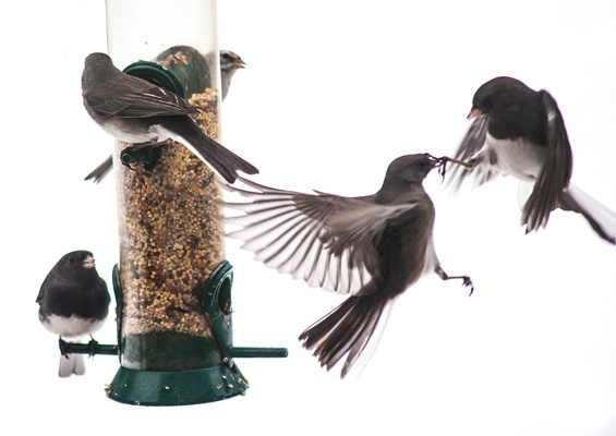 frenzy at the feeder