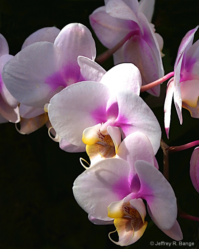 Orchid #23