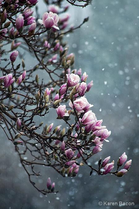 snow on magnolia