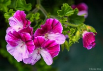 Frilly Pink and White Geraniums