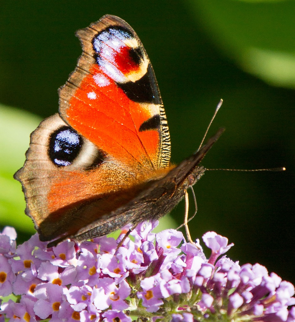 Beautiful Peacock Butterfly  - ID: 15445853 © Susan Gallagher