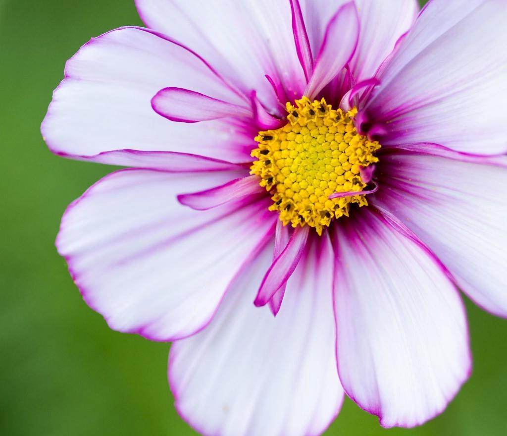 White Cosmos - ID: 15448014 © Susan Gallagher