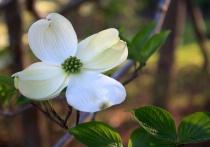 Darling Dogwood Blossom