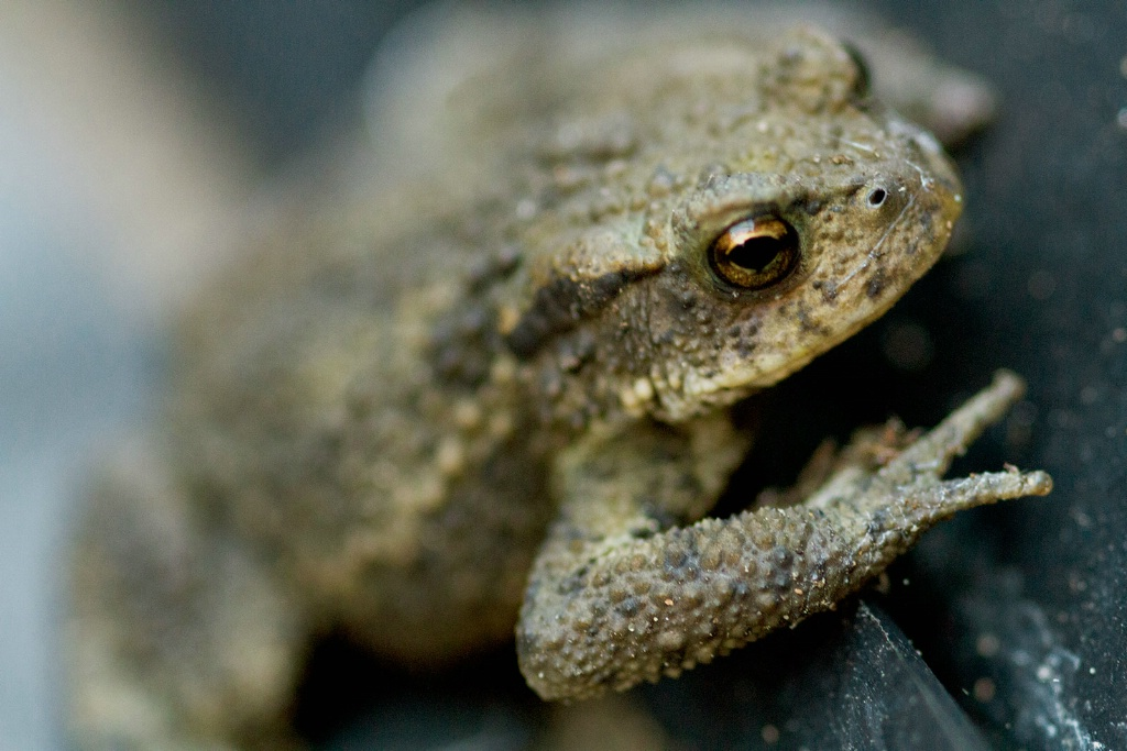 Mature Toad - ID: 15453682 © Susan Gallagher