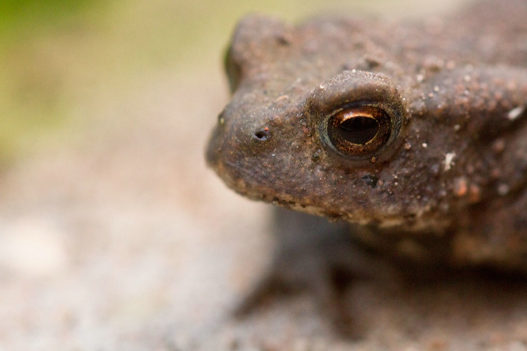 Toad in Close-up - ID: 15456031 © Susan Gallagher