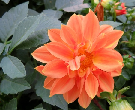 Peachy Blossom