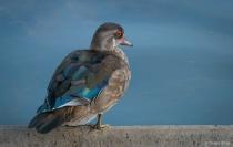 Pensive Female Wood Duck