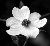 One Pretty Dogwood Blossom in B/W