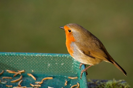 Robin about to enjoy Afternoon Feed