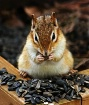 Chipmunk Feast