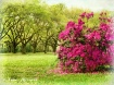 Azaleas Are Bloom...