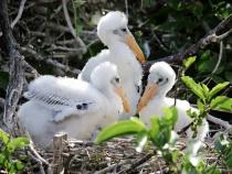 Wood Stork Siblings