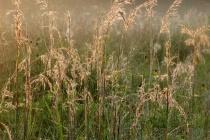 Prairie Grasses