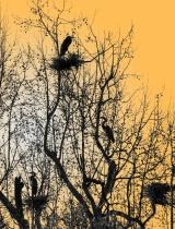 Herons Nesting