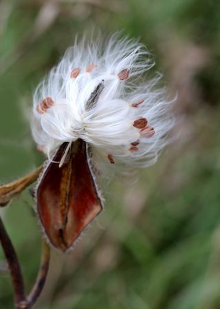 Wind On Milkweed