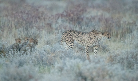 Cheetah and Four Cubs