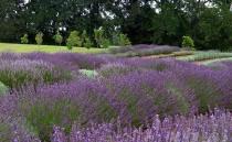 Spring At Lavender Hill