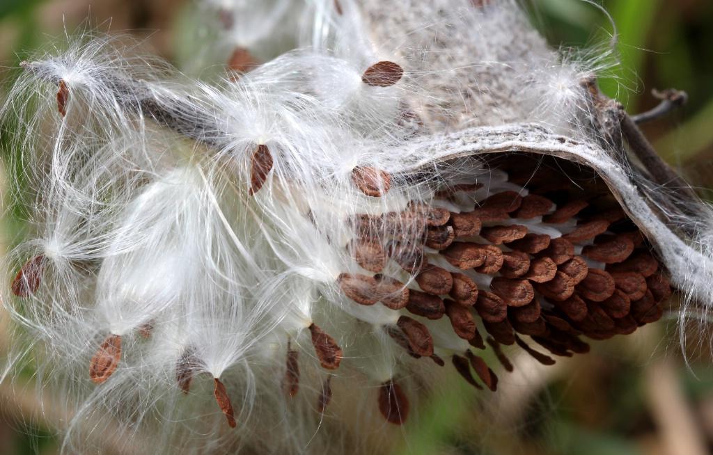Going To Seed - ID: 15684049 © Carolyn  M. Fletcher