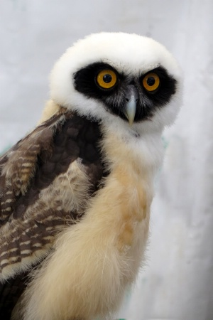 Spectacled Owl (12 Weeks Old)