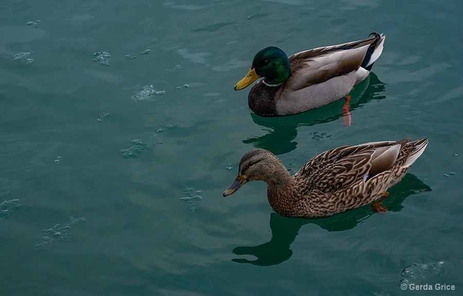 A Pair of Mallards in Icy Water