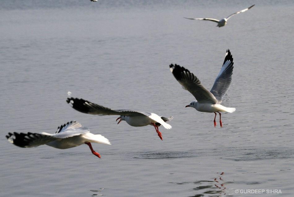 BIRDS - ID: 15715484 © GURDEEP SIHRA