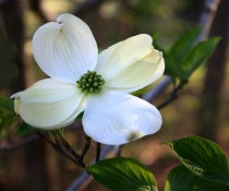 Springtime Dogwood