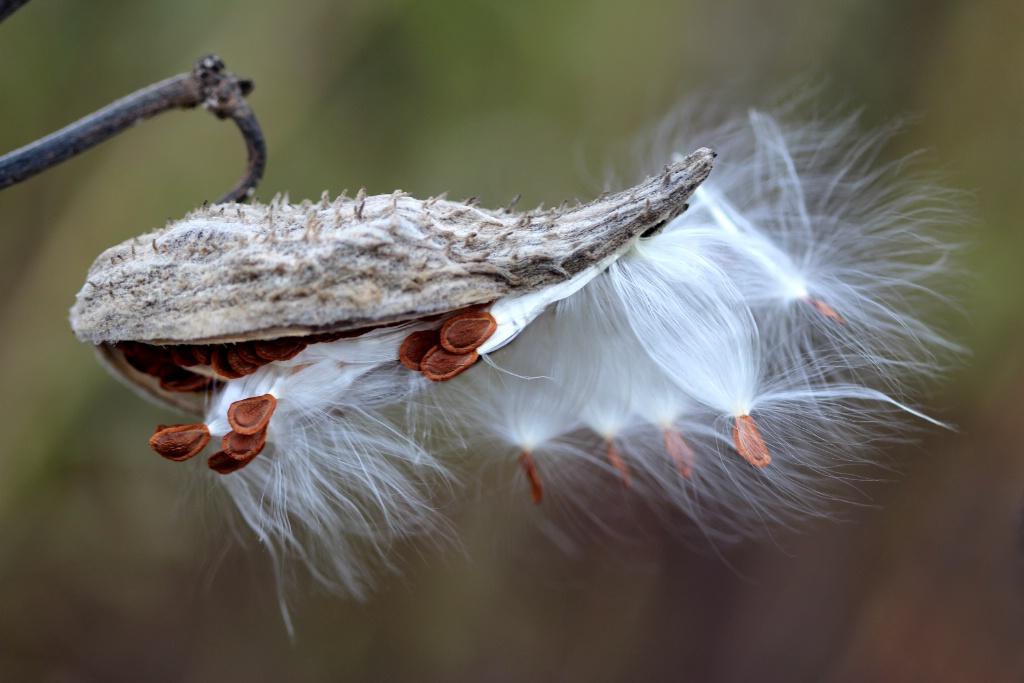 Milkweed In Autumn - ID: 15721047 © Carolyn  M. Fletcher