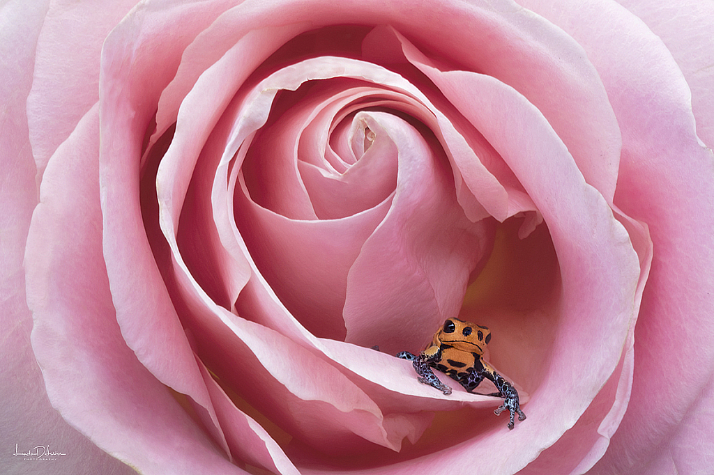 Blue Jeans Frog in a Rose