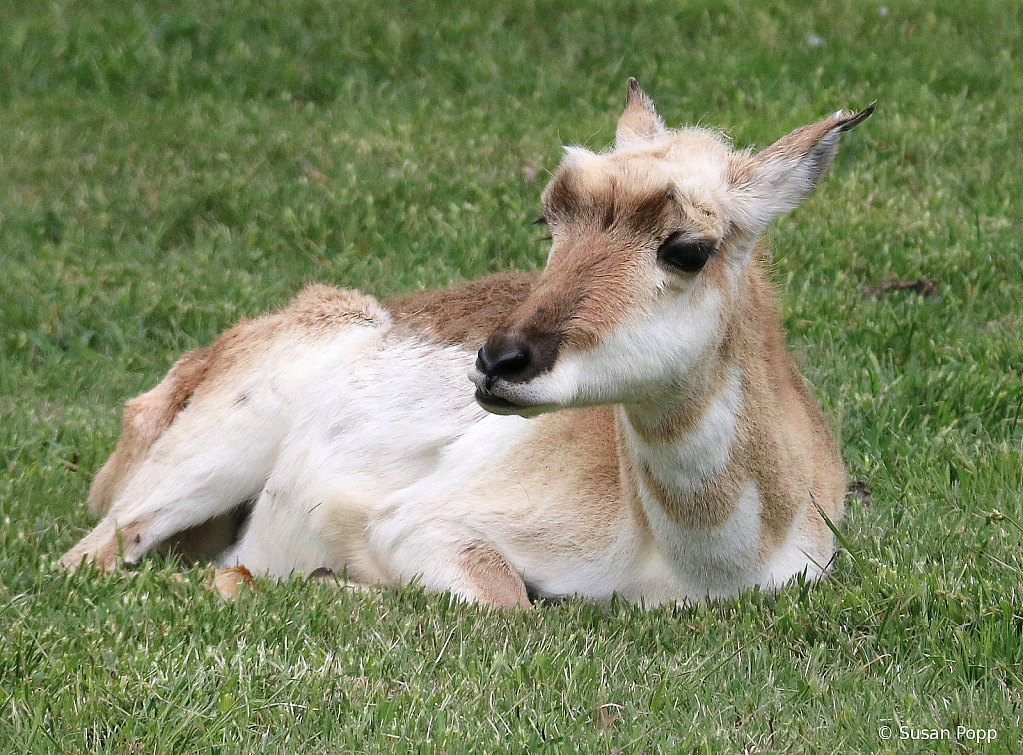 Antelope - ID: 15724874 © Susan Popp