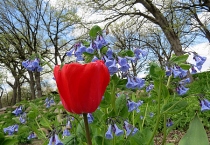 Tulip With Bluebell Background