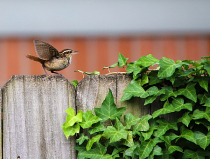 Baby Wren flapping wings screaming feed me!