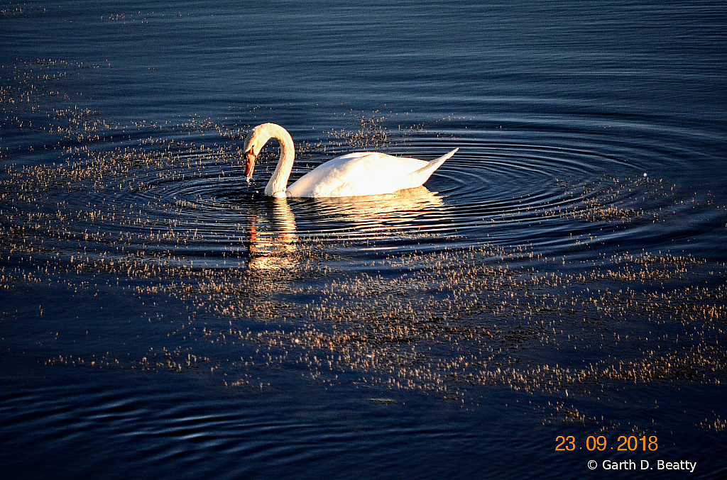 Mute Swan Feeding in Late Afternoon Sun.