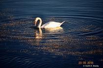 Mute Swan Feeding in Late Afternoon Sun.