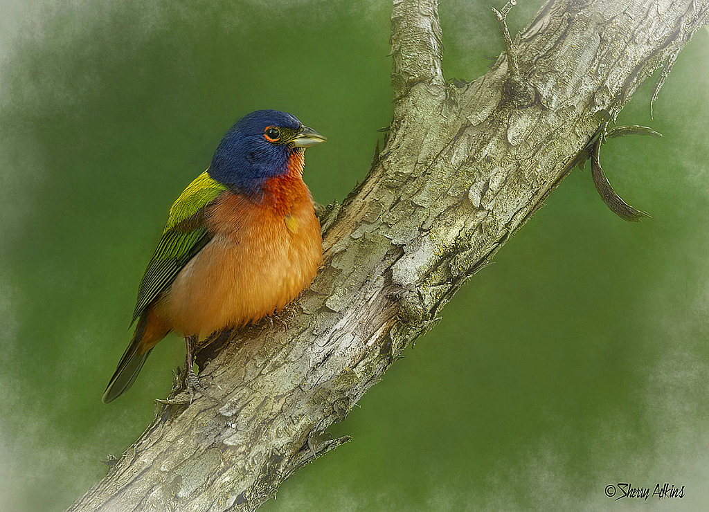 Painted Bunting - ID: 15727167 © Sherry Karr Adkins