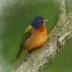2Painted Bunting - ID: 15727168 © Sherry Karr Adkins