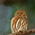 © William J. Pohley PhotoID # 15727245: Ferruginous Pygmy-Owl, Glaucidium brasilianum