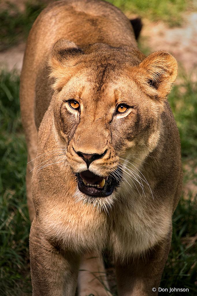 Lion Female 6-23-19 136