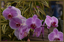 Orchids in bloom . . .