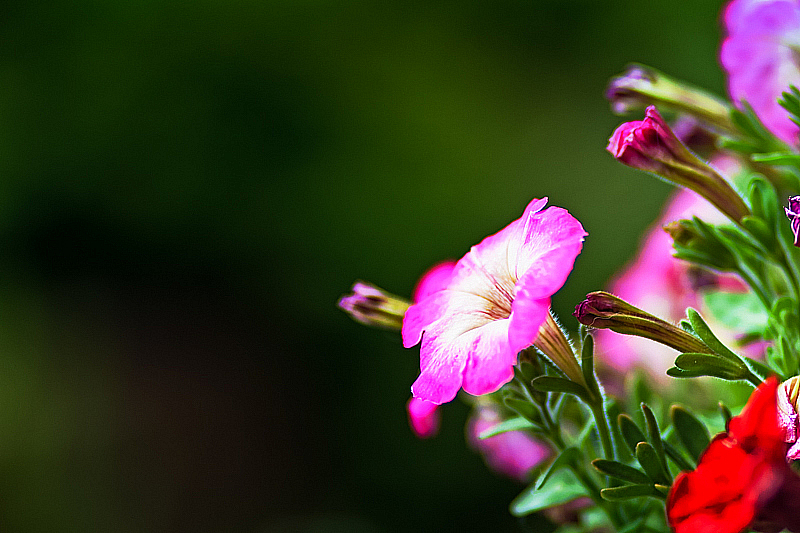 Pink And White Petunia Flower